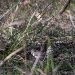 Taeniopygia bichenovii (Double-barred Finch) at Fraser, ACT - 27 Apr 2020 by Kerri-Ann