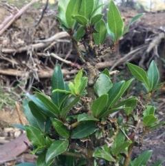Viburnum tinus (Laurustinus) at Mount Ainslie - 26 Apr 2020 by WalterEgo