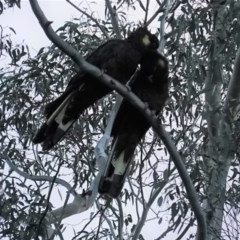 Zanda funereus (Yellow-tailed Black-Cockatoo) at Red Hill Nature Reserve - 26 Apr 2020 by JackyF