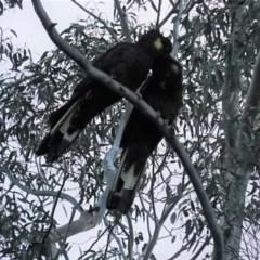 Zanda funereus (Yellow-tailed Black-Cockatoo) at Deakin, ACT - 26 Apr 2020 by JackyF