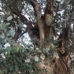 Eucalyptus polyanthemos subsp. polyanthemos (Red Box) at Stromlo, ACT - 26 Apr 2020 by Nat