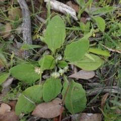 Cymbonotus sp. (preissianus or lawsonianus) (Bears Ears) at Deakin, ACT - 13 Apr 2020 by JackyF