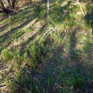 Cheilanthes sieberi at Hughes Grassy Woodland - 27 Apr 2020