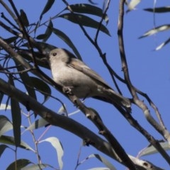 Pachycephala pectoralis (Golden Whistler) at ANBG - 22 Aug 2017 by Alison Milton