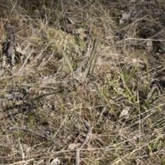 Brachychiton populneus subsp. populneus (Kurrajong) at The Pinnacle - 22 Aug 2017 by AlisonMilton