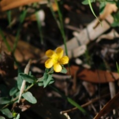 Hypericum gramineum (Small St Johns Wort) at Mongarlowe River - 27 Apr 2020 by LisaH