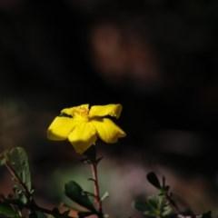 Hibbertia obtusifolia (Grey Guinea-flower) at Mongarlowe River - 27 Apr 2020 by LisaH