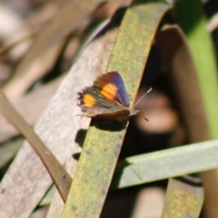 Paralucia aurifer (Bright Copper) at Mongarlowe River - 27 Apr 2020 by LisaH