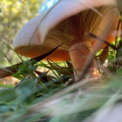 Lactarius deliciosus (Saffron Milk Cap) at Mongarlowe River - 27 Apr 2020 by LisaH