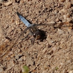Orthetrum caledonicum (Blue Skimmer) at Brogo, NSW - 27 Apr 2020 by MaxCampbell