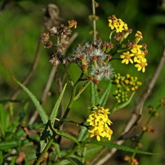 Senecio linearifolius var. arachnoideus (Cobweb Fireweed Groundsel) at Brogo, NSW - 27 Apr 2020 by MaxCampbell
