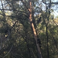 Zanda funereus (Yellow-tailed Black-Cockatoo) at Red Hill Nature Reserve - 28 Apr 2020 by TexanReptilian