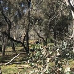 Macropus robustus (Wallaroo) at Red Hill Nature Reserve - 27 Apr 2020 by TexanReptilian