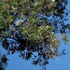 Angophora floribunda (Rough-barked Apple) at Brogo, NSW - 27 Apr 2020 by MaxCampbell