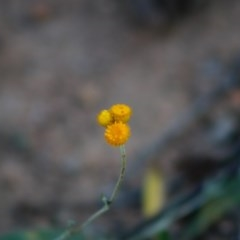 Chrysocephalum apiculatum (Common Everlasting) at Red Hill Nature Reserve - 28 Apr 2020 by LisaH