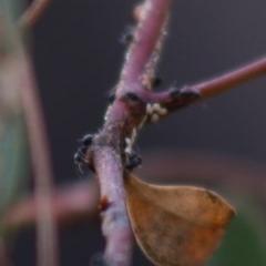 Iridomyrmex sp. (genus) at Red Hill Nature Reserve - 28 Apr 2020