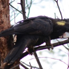 Zanda funereus (Yellow-tailed Black-Cockatoo) at Red Hill Nature Reserve - 27 Apr 2020 by LisaH