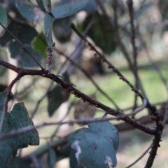 Eriococcus coriaceus (Gumtree Scale) at Red Hill Nature Reserve - 28 Apr 2020 by kieranh