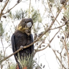 Calyptorhynchus lathami (Glossy Black-Cockatoo) at Penrose - 27 Apr 2020 by Aussiegall