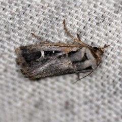 Proteuxoa undescribed species near paragypsa (A Noctuid moth) at O'Connor, ACT - 28 Apr 2020 by ibaird