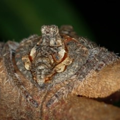 Dolophones turrigera (Turret spider) at Melba, ACT - 4 Jan 2012 by Bron