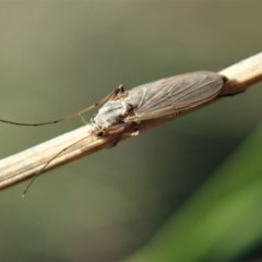 Chironomidae sp. (family) (Midge) at Mount Painter - 27 Apr 2020 by CathB