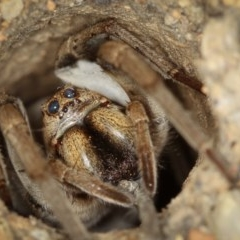 Lycosidae sp. (family) (Unidentified wolf spider) at Melba, ACT - 22 Jan 2012 by Bron