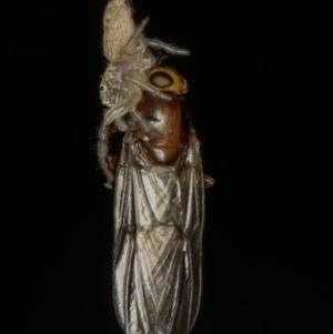 Opisthoncus sp. (genus) at Melba, ACT - 23 Jan 2012
