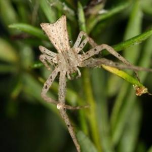 Sidymella sp. (genus) at Melba, ACT - 29 Jan 2012