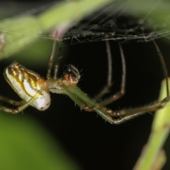 Leucauge dromedaria (Silver dromedary spider) at Melba, ACT - 8 Jan 2012 by Bron
