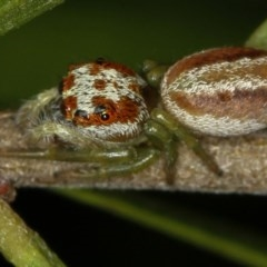 Opisthoncus sp. (genus) (Unidentified Opisthoncus jumping spider) at Melba, ACT - 5 Feb 2012 by Bron