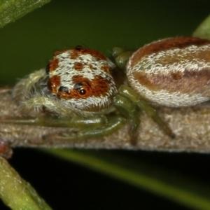Opisthoncus sp. (genus) at Melba, ACT - 5 Feb 2012