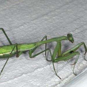 Pseudomantis albofimbriata at Ainslie, ACT - 28 Apr 2020