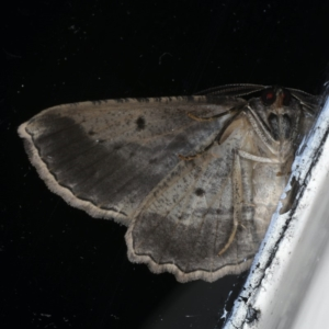 Euphronarcha luxaria at Ainslie, ACT - 28 Apr 2020