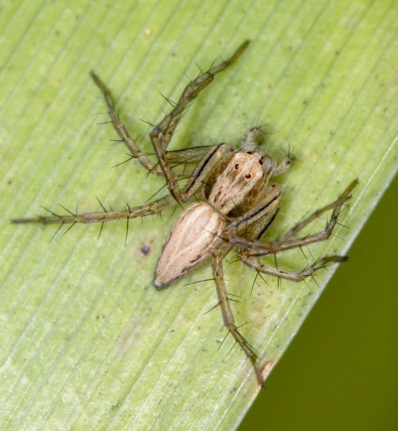 Oxyopes sp. (genus) at Melba, ACT - 10 Feb 2012