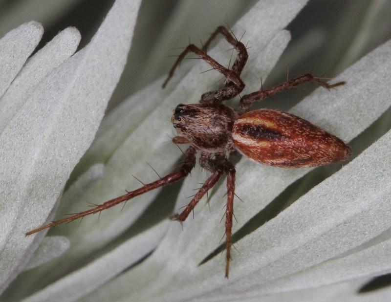 Oxyopes sp. (genus) at Melba, ACT - 11 Feb 2012