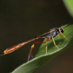 Ichneumonidae sp. (family) (Unidentified ichneumon wasp) at Evatt, ACT - 28 Nov 2015 by TimL