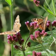 Junonia villida (Meadow Argus) at Gigerline Nature Reserve - 28 Apr 2020 by RodDeb