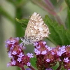 Theclinesthes serpentata (Saltbush Blue) at Gigerline Nature Reserve - 28 Apr 2020 by RodDeb