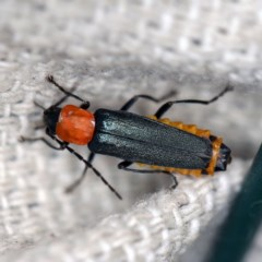 Chauliognathus tricolor (Tricolor soldier beetle) at O'Connor, ACT - 28 Apr 2020 by ibaird