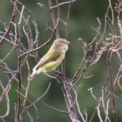 Smicrornis brevirostris (Weebill) at Gigerline Nature Reserve - 28 Apr 2020 by RodDeb