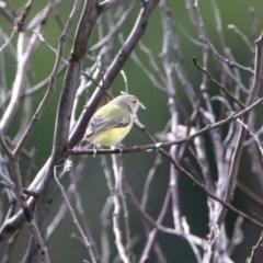 Smicrornis brevirostris at Gigerline Nature Reserve - 28 Apr 2020