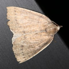 Authaemon stenonipha (Pale-bordered Cape-moth) at O'Connor, ACT - 28 Apr 2020 by ibaird
