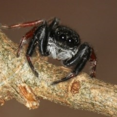 Apricia jovialis (Jovial jumping spider) at Melba, ACT - 15 Feb 2012 by Bron