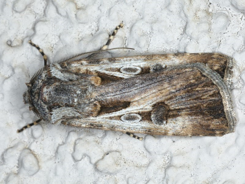 Agrotis munda at Ainslie, ACT - 29 Apr 2020