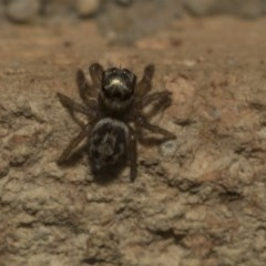 Hypoblemum griseum (A jumping spider) at Higgins, ACT - 29 Apr 2020 by AlisonMilton