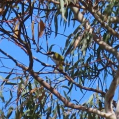 Melithreptus lunatus (White-naped Honeyeater) at Macarthur, ACT - 28 Apr 2020 by RodDeb