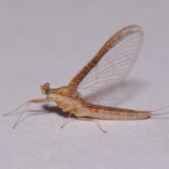 Ephemeroptera sp. (order) (Unidentified Mayfly) at Evatt, ACT - 28 Nov 2015 by TimL