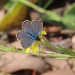 Zizina otis (Common Grass-blue) at Gigerline Nature Reserve - 28 Apr 2020 by RodDeb
