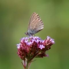 Zizina otis at Gigerline Nature Reserve - 28 Apr 2020